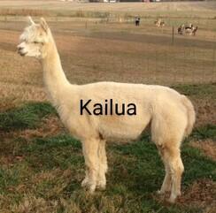 Adopt an alpaca - tier 2 Adult Females