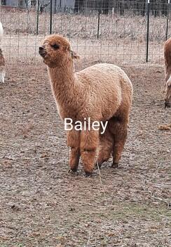 Adopt an alpaca - tier 2 Crias