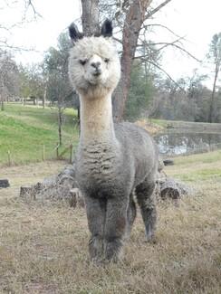 Photo of Grey (Med Silver)Alpaca Fiber- Lady Ruth