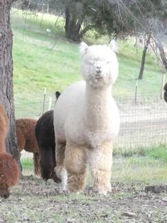 White Alpaca Blanket Fiber - Passion