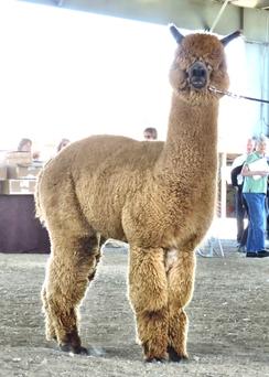 Photo of Fawn (Medium) Alpaca Fiber -  El Rey