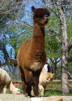 Photo of Brown (Medium) Alpaca Fiber - Delight