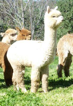 Photo of Beige Alpaca Fiber - Terra