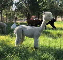 White Alpaca Blanket Fiber - Intrigue