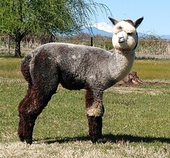 Grey(Dk/Med Silver)Alpaca Fiber-Shibuchi