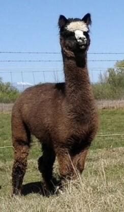 Black (True) Alpaca Fiber - Bessie