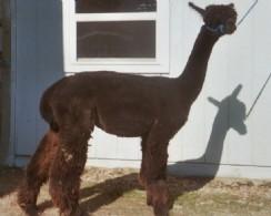 Alpaca Herdsires: JSFI Black Mesa: Huacaya, Male, Proven: Idaho