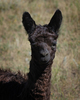 DQ: The first cria born at Shambalah