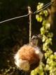 Chickadee on Nesting Ball
