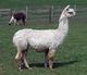 Photo of ASF-PA Peruvian Hippolyta