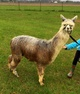 Photo of Coldwater Creek Alpaca Farms Dakota