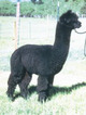 Photo of High Peaks Alpacas/Black Peruvian genetics