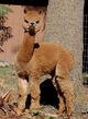 Photo of ASPENALPACAS TINKERBELLE by Snowmass Truly Invincible