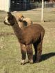 Photo of Companion Alpacas