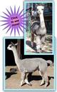 Photo of Two Avatar Cria on the way!