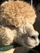 Photo of CHOOSE 5 0r More Alpacas...Take 10% Off the Package Price!