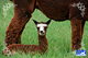 New baby alpaca