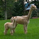 Photo of WP Elite Emeera w/female cria WP Supreme Zemeera