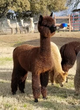 Photo of Epic Alpacas Countess Somerset