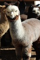 Photo of ASPEN ALPACAS DAVOS