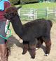 alpaca for sale