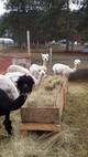 Meet and greet alpacas
