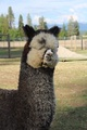 Photo of ASPEN ALPACAS EARL GREY