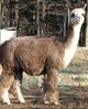 Alpaca Brokering
