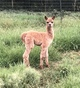 Photo of Ruby Enchantress & female cria