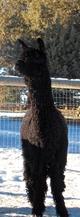 Photo of Snowmass Black Silk