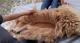 GCR alpaca shearing