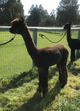 Photo of Pet Female Alpaca