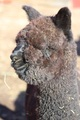 Photo of ASPEN ALPACAS NIGHTSHADE