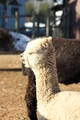Photo of ASPEN ALPACAS SONATA