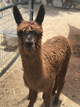 Photo of RRRA's Paintbrush's Cria
