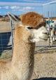 Alpaca Palace's Zinger - gorgeous herdsire