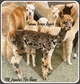 Photo of PBR Apache's Fire Water (Packed with Appaloosa's on both sides!)