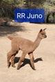 Photo of RR JUNO
