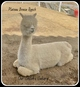 Photo of Our Shiloh's Sahara (Pet price)