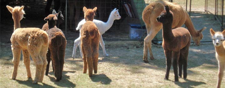 Liberty Alpacas - An alpaca farm in Maple Valley, WA