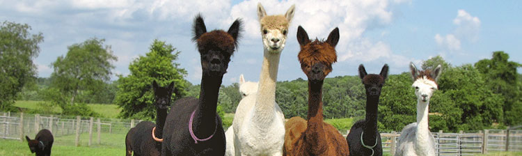 Abenaki Acres - alpaca farming and breeding