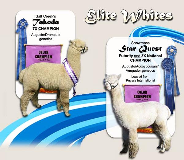 salt creek alpacas - elite white breeding male alpacas