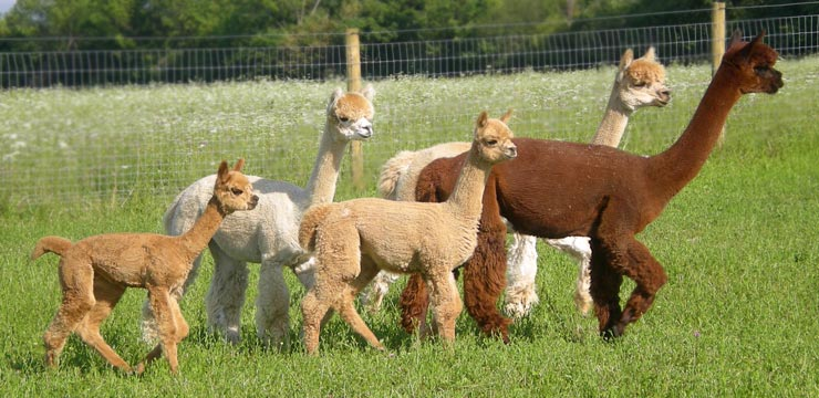 New York alpaca farming