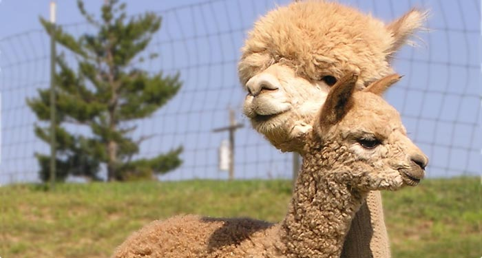 Feeding alpacas - a family-friendly business