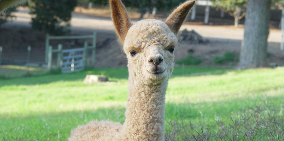 California alpaca farm