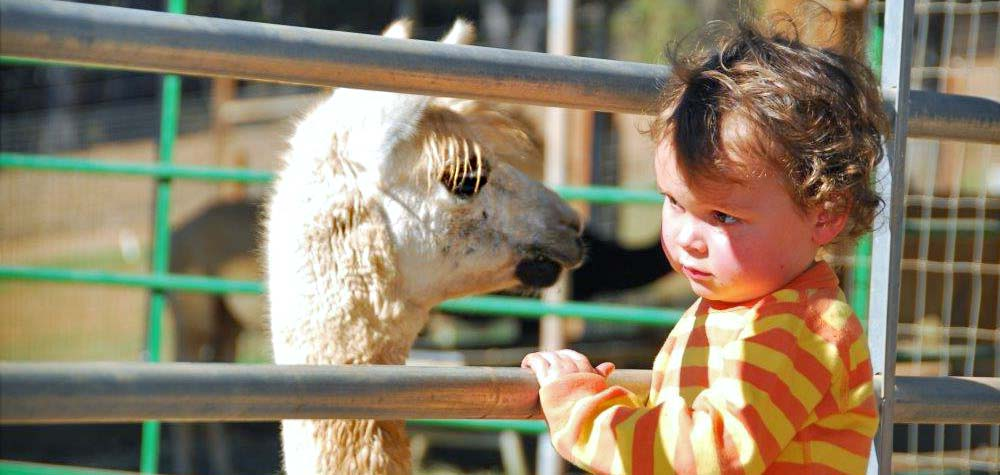 Kids love alpacas
