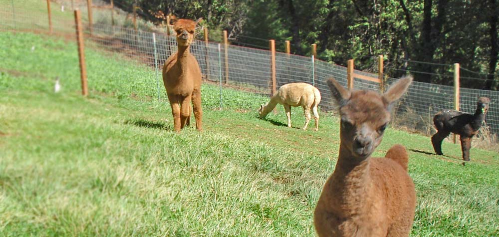 Alpacas on a California livestock farm