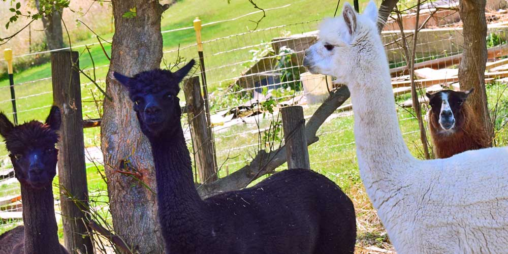 Iowa alpaca farm