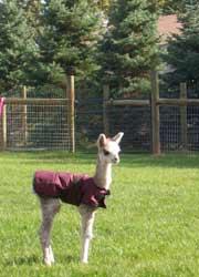 Cute alpaca cria