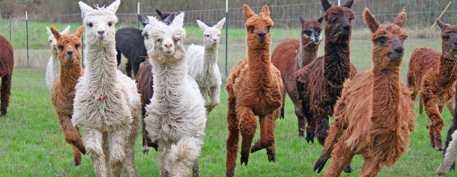 Alpaca farming in Oregon, Washington, and Pacific Northwest states